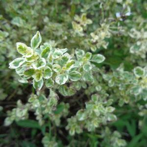 origanum variegatum (3)
