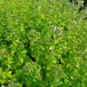 origanum vulg. aureum (1)