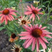 echinacea purpurea hot summer (2)