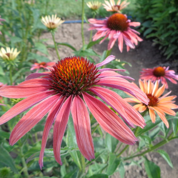 echinacea purpurea hot summer (3)