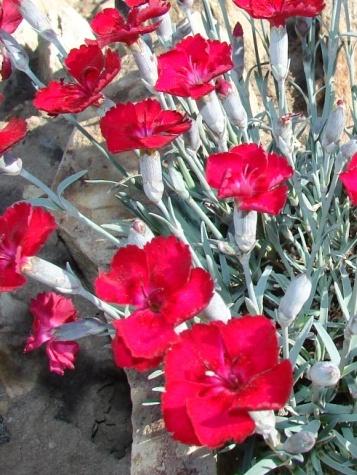 Karafiat-Dianthus-gratianopolitanus