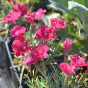 dianthus rubin4