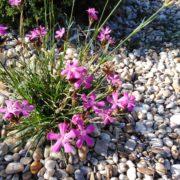 dianthus carthusianorum (3)