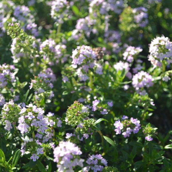 thymus odoratus (10)
