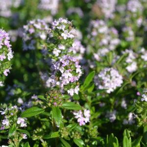 thymus odoratus (5)