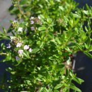 thymusserpyllumanniehall1