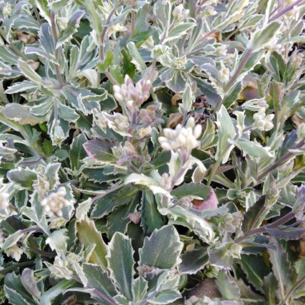 arabis arendsii variegata (4)