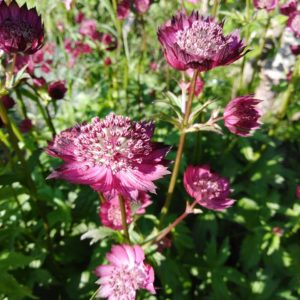 astrantia cally