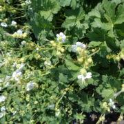 geranium macrorrhizum white ness (1)
