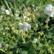 geranium macrorrhizum white ness (5)