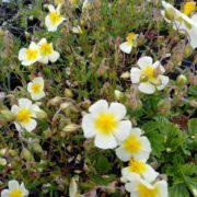 helianthemum elfenbeinglanz (1)