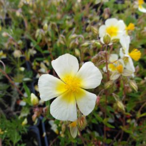 helianthemum elfenbeinglanz (4)
