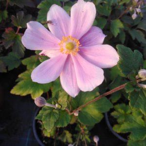 anemone hupehensis konigin (1)