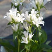 campanulagentiwhite1
