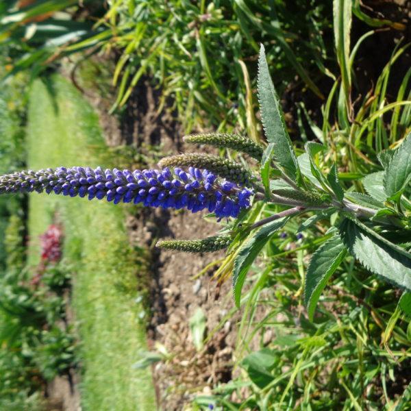 veronica longifolia blaueriesin (1)