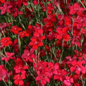 dianthus_deltoides_flashing_lights_flowers