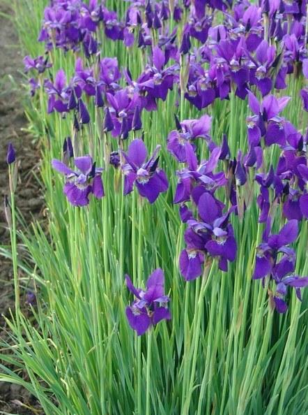 iris sibir