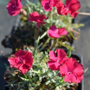 dianthus rubin1