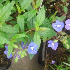 veronica penduncularis Georgian Blue (1)