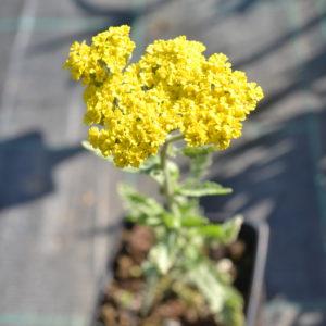achillea moonshire (2)