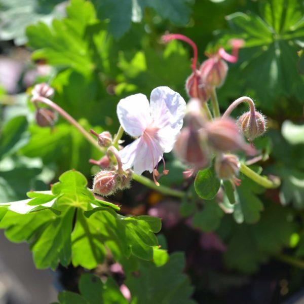 geraniumcantabrigiensebikovo1
