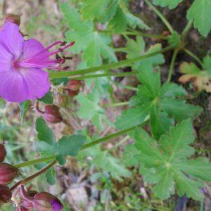 geranium macrorrhizum olympos (1)