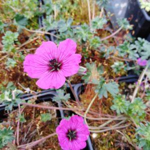 geranium subcaulescens giuisseppi (3)