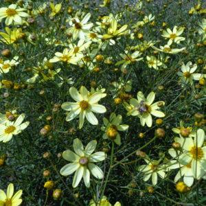 coreopsis verticillata monbeam (7)
